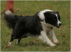 Daisy - trénink agility, 17.09.2005, photo © T. Seemann